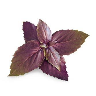 Purple basil Refill Ingot for vegetable garden Genuine