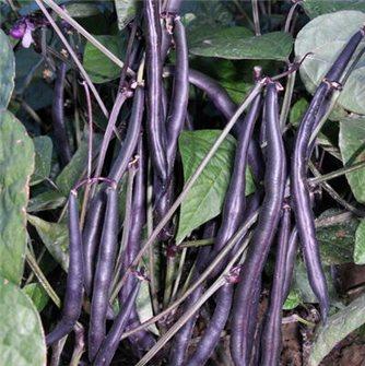 Purple Queen Bean Seeds